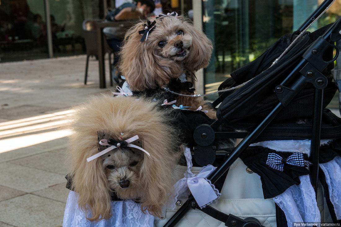 Собачьи страсти в Японии: коляски, наряды и магазины для пёсиков