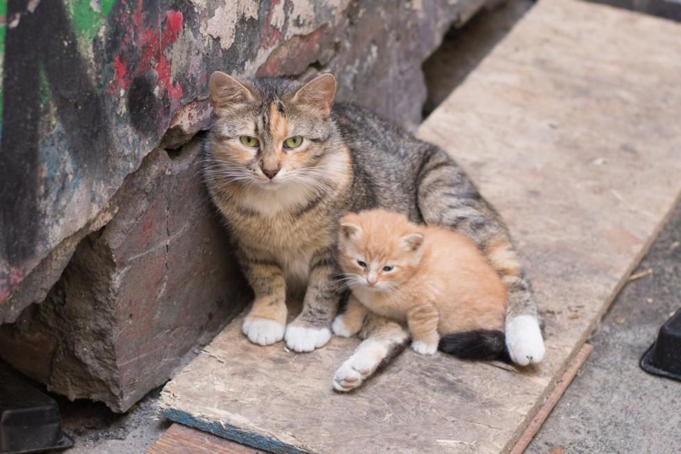 коронавирус кошек передача