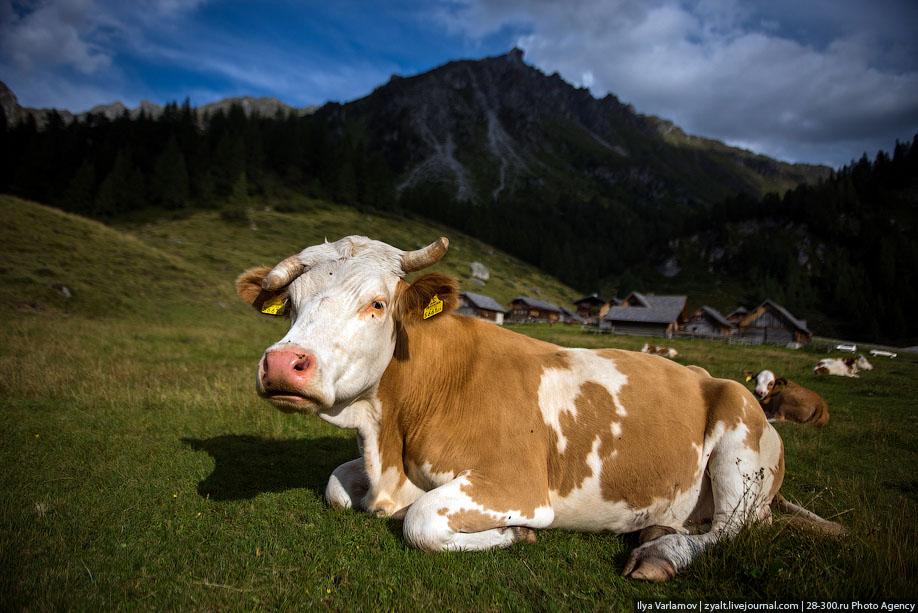 Корова фото