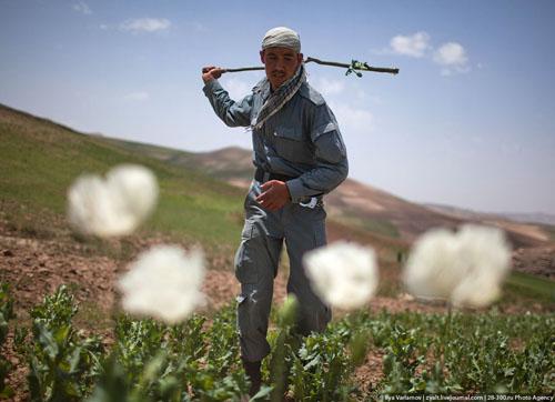 Уничтожение маковых полей в Афганистане или
