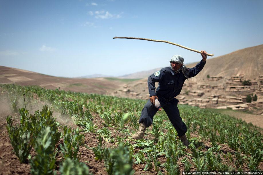 """Уничтожение маковых полей в Афганистане или """"пчелы против меда""""."""